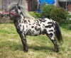 Miniature Spotted Pony